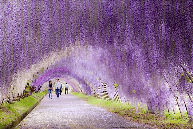 Túnel de glicínia, Japão